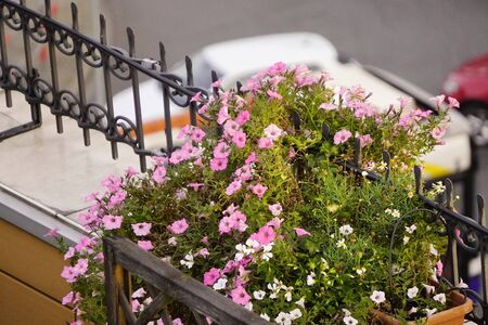 flower bed on the terrace of the old house, pink flowers, landscaping of the facade of the house, wildlife in the urban environment 写真素材