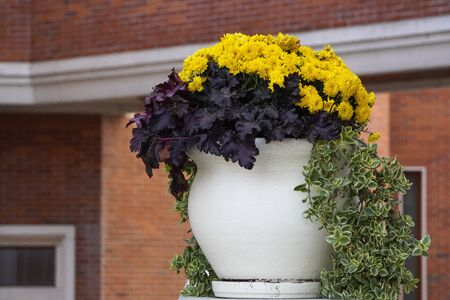 white vase with chrysanthemums on background of the building. urban decoration with flowers in pots or flowerbeds 版權商用圖片