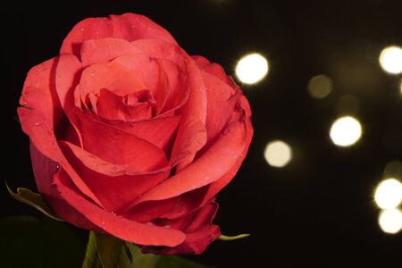 red wet rose with water drops on the petals on a black background with small artificial light bulbs, side view. lights out of focus. red flower in artificial light, black background, red petals and green trunk, water drops. Banco de Imagens