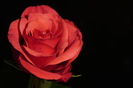 Red rose on black background with side warm light. red flower in artificial light, black background, red petals.