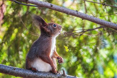 cute young red squirrel sits on a branch and looks carefully. Blurred forest in the background and big green branch closer. Stock Photo