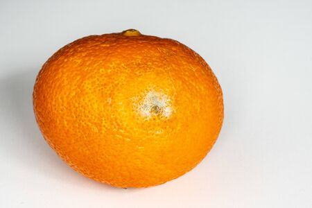 Orange tangerine with mold on a white background. Defective product, fruit. Shelf life of products. isolated