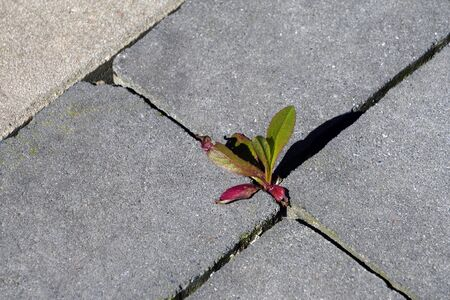 Wild plant growing among paving slabs. Plants in an urban environment. Life force. Plant groving through the pavement.