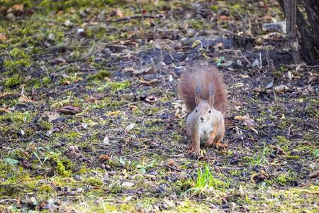A red fluffy squirrel stands on its hind legs on ground and looks around, looking for food. Sciurus, Tamiasciurus, Pine squirrels, Rodent Stock Photo