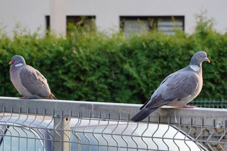 Two Columba palumbus large grey wild pigeons sit on fence in the sunset rays. Wild birds in the city, nature and man. Ornithology