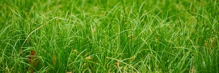 Juicy green spring grass. Abstract Summer a background texture of colorful green high vegetation. soft focus. New close-up bright green grass in park or football pitch or golf yard.