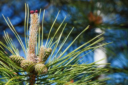 Long pine needles with cones. Natural background. Unfocused trees and blue sky at background.