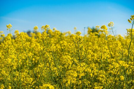 Flowering of the rapeseed field is yellow. Natural landscape background with a copy space. Blooming canola flowers. Bright Yellow Rape in summer.