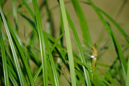 A light green dragonfly is sitting on bright juicy green grass meadow. Close-up photo of beautiful dragonfly. Stock Photo
