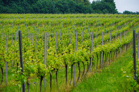 Rows of young grapes in spring, the winery in countryside. Mountains, landscape in Poland, Krakow. Vegetation, europe. Banque d'images