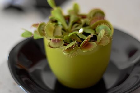 Venus fly trap in the flower pot at black plate