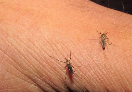 dengue fever: mosquito in danger in our life
