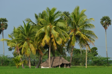 a hut in the middle of paddy field and coconut trees  photo