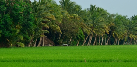 paddy field with coconut trees  photo