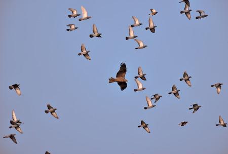 palomas volando: Milano negro (Milvus migrans) y multitud de palomas volando juntos, Virar, Maharashtra, India Foto de archivo