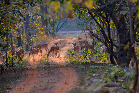 mother and baby deer: Herd of Spotted deer, tadoba, chandrapur, india
