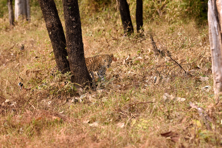 pardus: leopard (Panthera pardus) walking, Tadoba, Chandrapur, Maharashtra, India Stock Photo