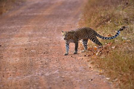 pardus: Leopard (Panthera pardus) crossing the road, Tadoba, Chandrapur, Maharashtra, India Stock Photo