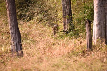 pardus: Leopard (Panthera pardus) in the bush, Tadoba, Chandrapur, Maharashtra, India Stock Photo