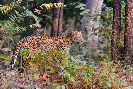 pardus: Leopard (Panthera pardus) is alert, Tadoba, Chandrapur, Maharashtra, India
