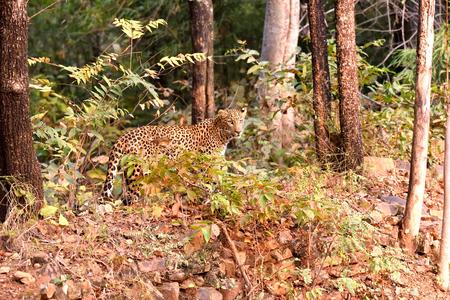 pardus: Leopard (Panthera pardus) searching, Tadoba, Chandrapur, Maharashtra, India