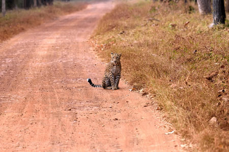 panthera pardus: Leopard (Panthera pardus) sitting on the road, Tadoba, Chandrapur, Maharashtra, India