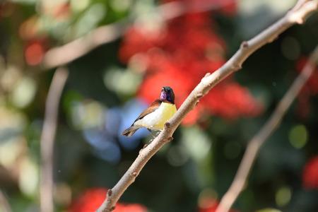 maharashtra: Purple-rumped Sunbird (Leptocoma zeylonica), kinwat, maharashtra, india