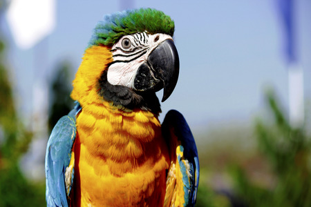 mccaw: macaw parrot