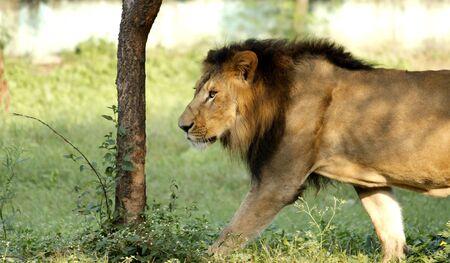 indore: Lion Stock Photo