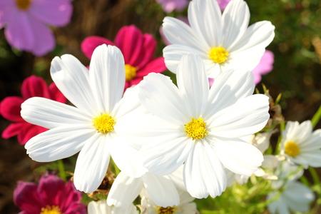 white cosmos flowers Stock Photo