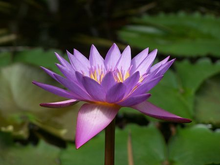 Purple lotos flower Stock Photo - 2665459