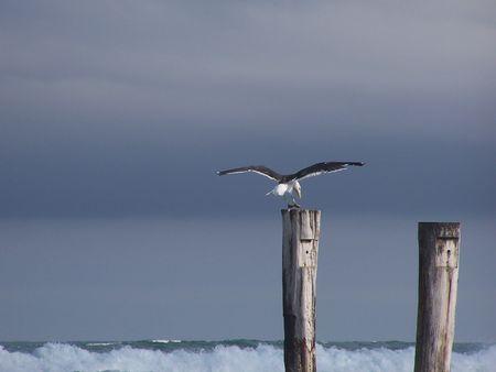Seagull landing on wooden pole Stock Photo - 2665413