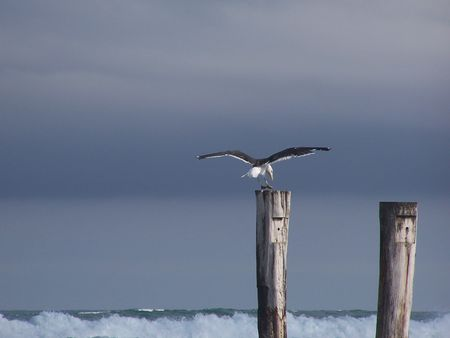 Seagull landing on wooden pole Stock Photo - 2665413