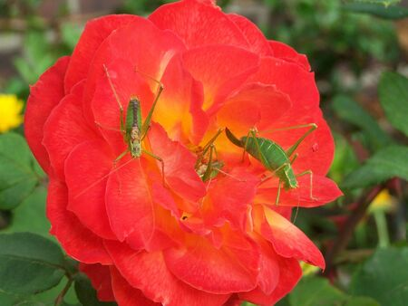 Grasshoppers on rose flower photo