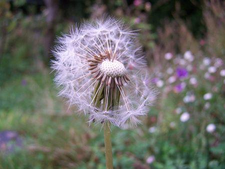 blowball: Dandelion blowball