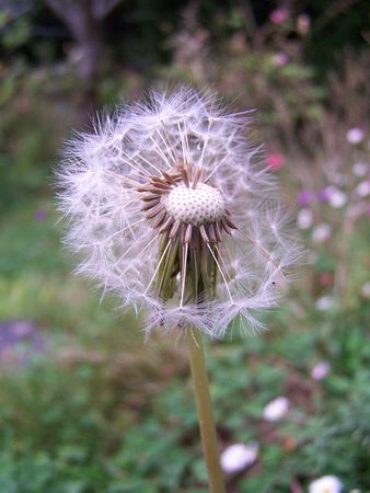 Dandelion blowball photo