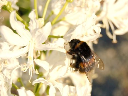 Bumble bee on flowers photo
