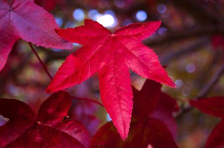 Bright red mapple leaf photo