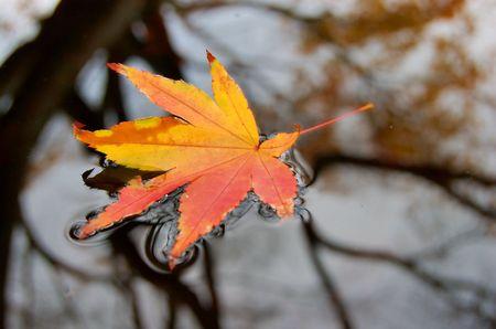 Autumn leaf floating on pond photo