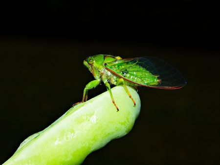 Close-up of cicada sitting on a green pea pod, side view, dark background photo
