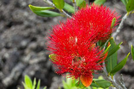 specie: Bright red flowering pōhutukawa (Metrosideros excelsa, known as New Zealand Christmas tree) against black lava volcanic background on Rangitoto Island, a coastal evergreen tree of the myrtle family, specie endemic to New Zealand Stock Photo