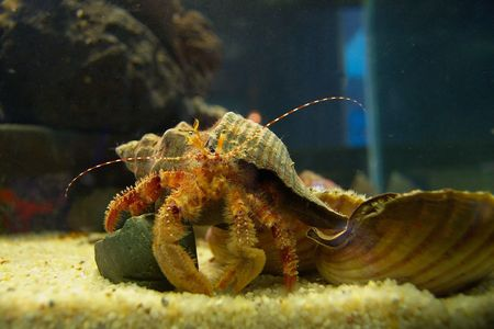 hermit: Orange hermit crab wearing an abandoned sea-shell and a couple of live sea-shells in an aquarium