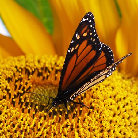 Close-up of monarch butterfly (Danaus plexippus) sitting on bright yellow sunflower and feeding