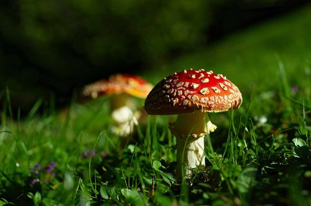 flecks: Bright red toadstool with many flecks, another one in the background, in the lush green grass, afternoon sun coming from the side