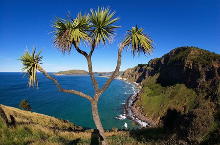 steep: Cabbage tree (Torquay palm) with scenic Otago coastline in the background, view from Heyward Point towards Aramoana Mole and Tairoa Head, featuring rugged steep cliffs and sandy beaches; very wide-angle view Stock Photo