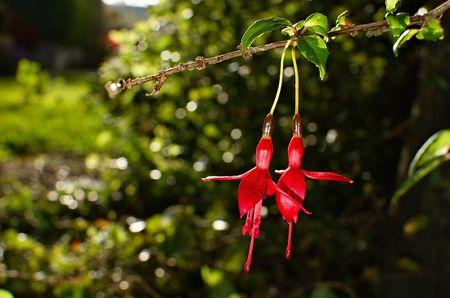flores fucsia: Un par de flores de color fucsia brillante rojo fuego