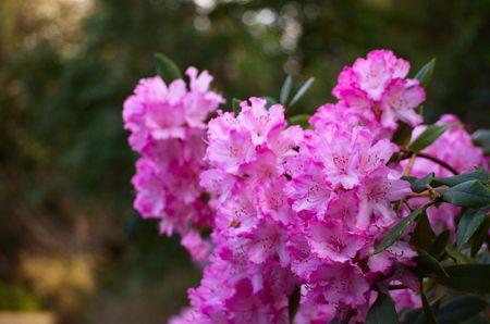 ericaceae: Rich cluster di caldo rododendro rosa fiori nei giardini botanici Archivio Fotografico