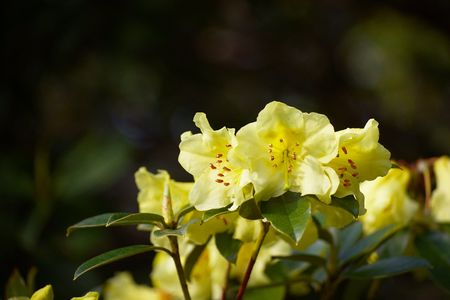 lemony: Detail of lemony yellow rhododendron blossoms
