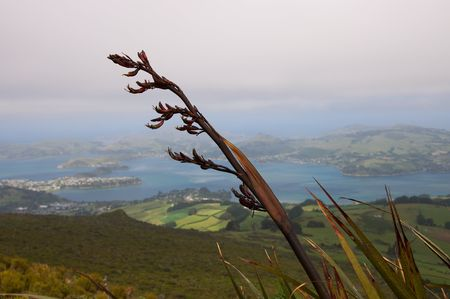 Red flowers of flax plant (Phormium tenax, called harakeke by the Māori) on an overcast day, Port Chalmers, Otago harbour and peninsula in the background, view from Mount Cargill, New Zealand photo