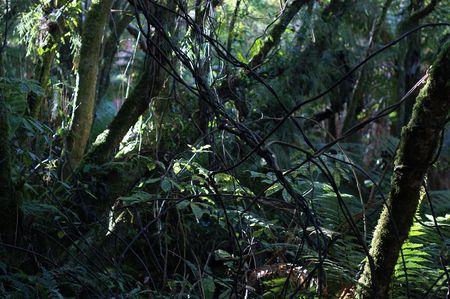 primordial: New Zealand native bush, showcase of impenetrable vegetation, Pineapple Track, Dunedin